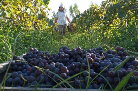 Visita a viñedos y bodega de Berisso